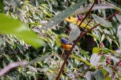 Yellow-rumped Flowerpecker (arnewuensche66) Tags: birds wildlife borneo vögel flowerpecker yellowrumpedflowerpecker prionochilusxanthopygius gelbbürzelmistelfresser