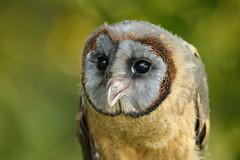 Tyto glaucops  Ashy-faced Owl (Roger Wasley) Tags: bird haiti dominicanrepublic owl herefordshire owls birdsofprey kington tytoglaucops tytonidae ashyfaced owlcentre smallbreedsfarmpark