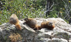 IMG_5603 (s.kolodzy) Tags: summer backpacking wyoming grandtetons marmots 2015