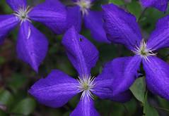 DSC01766 (Old Lenses New Camera) Tags: flowers plants garden sony clematis f56 rank 135mm cooke tth plasmat a7r taylorhobson copyinglens rankoptics
