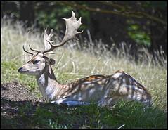 Daim (wilphid) Tags: montagne animaux parc montblanc sauvage hautesavoie faune leshouches parcdemerlet