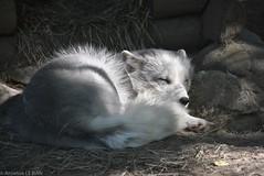 Renard arctique (Annelise LE BIAN) Tags: closeup suisse damn animaux blanc coth servion supershot renardarctique fabuleuse alittlebeauty fantasticnaturegroup coth5 ruby5 sunrays5