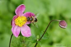 think pink in october (cre8ive-M) Tags: pink garden herfst anemone tuin pinkribbon anemoon zweefvlieg okoberborstkankermaand