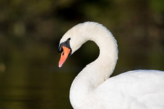 Friendly Swan (Edward Rondon) Tags: swan bokeh whiteswan parvin parvinlake kayakphotography erondonphotography edwardrondon