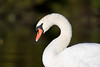 Friendly Swan (Edward Rondon) Tags: swan bokeh whiteswan parvin parvinlake kayakphotography erondonphotography edwardrondon