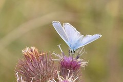 DSC_0675 Icarusblauwtje, Polyommatus icarus, Common Blue Argus bleu Hauhechelbläuling