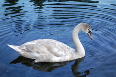 Cygnet on Blue Ripples (Dave Roberts3) Tags: reflection water wales reflecting swan newport gwent muteswan citrit naturethroughthelens