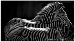 Grevy's Zebra (ctofcsco) Tags: 11600 1div 20 200mm animals bw backlighting backlit black blackandwhite canon colorado denver ef200mm ef200mmf2lisusm eos1dmarkiv explore f2 gray grevys grey monochrome nature outdoor stripes supertelephoto telephoto unitedstates usa white wildlife zebras zoo bokeh denverzoo explored geo:lat=3975024770 geo:lon=10494968870 geotagged northamerica statecapitol vinestreethouses blackbackground best wonderful perfect fabulous great photo pic picture image photograph
