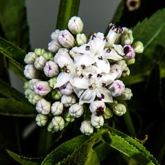 Attich (blasjaz) Tags: plant pflanze pflanzen blumen blume blte blten botanik giftpflanze blasjaz