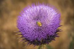 untitled (naser.shirmohamadi) Tags: nature violet insects thorn naser   shirmohamadi