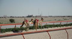 doha camel race (40) (Parto Domani) Tags: animal animals race radio robot corse arabic east camel arab oriente practice middle peninsula medio animali animale  doha qatar corsa arabica cammello  arabo penisola dromedario araber     cammelli  dromedari