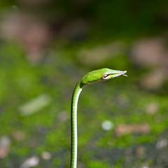 Green Vine Snake - Sri Lanka (ඇහැටුල්ලා) (dakdad) Tags: animal snake srilanka greenvinesnake