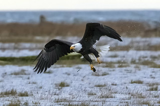 Bald Eagle catching voles