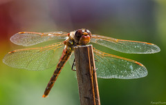 Dragonfly resting_2045 (pagepw) Tags: insect bug flying dragonfly macro nature beauty