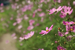 - Cosmos (shig.) Tags: cosmos flower flowers pink canon eos 70d bokeh