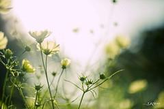 KEN_0435 (KenPhotographys) Tags: travelphoto travelasia travelphotograhy travelworld travel travelthejapan traveljapan tokyo landscape seetheworld snapshot snap scenery shinjuku shibuya flower flowers sky skyporn bluesky sunset cosmos