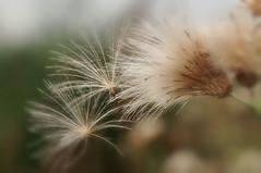 Dandelion (inge_rd) Tags: pusteblume dandelion lwenzahn blowball
