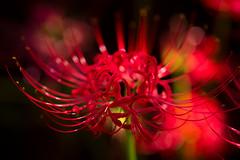 (qrsk) Tags: flower clusteramaryllis redspiderlily plants nature fire japan      sonnart135mmf18za