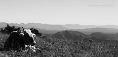 Vaca l'Estany (Pemisera) Tags: pemisera pemiserarols josepmariaserarolsphoto vaca vache cow lestany paisatge paisaje paysage landscape