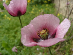 Sutil (0_Detalles_0) Tags: flor flower amapola opium poppy ptalos petals texturas textures