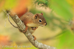 Squirrel blur (P & Y Photography) Tags: nature animal mammal red american squirrel tree green bokeh branch forest canon 5d3 5diii 100400