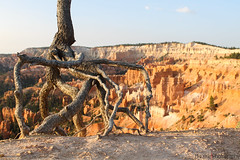 Weird root (Manuel Bu) Tags: sunrise sunlight sun bryce brycecanyon brycecanyonnationalpark canyon cloud clouds sky wood weird weirdroot root tree orange brown blue white beautiful beautifulcolors color colors utah usa america northamerica nationalpark nature landscape goldenhour warmlight westcoast westcoastjourney awesome creation