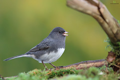 Juncos ardois  -  Dark-eyed junco (Maxime Legare-Vezina) Tags: bird oiseau nature wild wildlife animal fauna biodiversity ornithology canon quebec canada