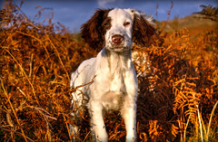 Here i am too Mummy! (Missy Jussy) Tags: rupert puppy englishspringer springerspaniel spaniel dog animal canon cannon600d canon1855 bracken autumn