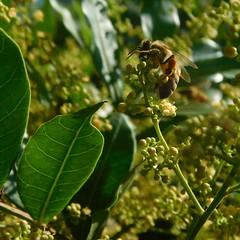 Una simple obrera.. (Moiss De Len) Tags: abeja abejas miel polen nectar platas arbol colmena macro