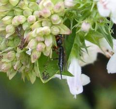 Ichneumon Wasp? (gailhampshire) Tags: ichneumon wasp