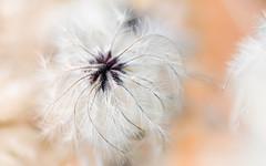 poids plume (christophe.laigle) Tags: poidsplume macro xf60mm flower fuji douceur xpro2 fleur softness ngc