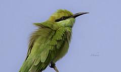 Close Up (Syed Mohsin Khadri) Tags: greenbeeeater birdphotography birds birdsofuae birdwatching bird photography nikond7100 nikkor200500mm handheld birdsofindia green bee eater beeeater telephoto supertelephoto