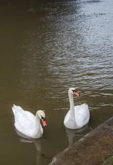 Svanar i Wisla (asahele) Tags: krakow fs161023 tredjedelsregeln fotosondag svanar fglar flod wisla