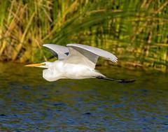 Great Egret_20 (SamOphoto2011) Tags: canon california birds 14iiteleconverter santeelakes greategret ardeaalba 7dmarkii 100400lmarkii egrets