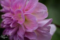 Dahlia I (judithrouge) Tags: dahlien dahlia flower blume blüte blütenblätter petals blossom drops raindrop rain regen tropfen regentropfen rosa garten garden