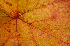 Texture of Autumn (Dave Roberts3) Tags: maple acer wales gwent newport park bellevue orange red citrit supershot