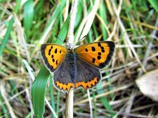 Butterfly 1097