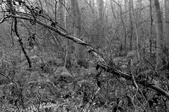 Ivy entwined branch (The Lower Guards Wood) (Jonathan Carr) Tags: tree abstract abstraction rural northeast landscape black white bw toyo45a 6x9 monochrome ivy