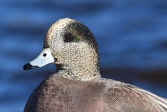 American Wigeon (careth@2012) Tags: nature duck wildlife portrait beak feathers americanwigeon