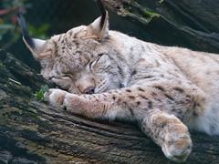 Eurasischer Luchs / Nordluchs (Chriest) Tags: kaisergartenoberhausen eurasischerluchs nordluchs lynxlynx