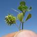 Medicago truncatula fruit8 Denman