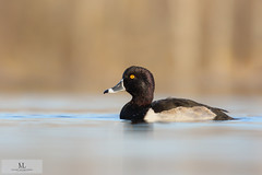 Fuligule à collier - Ring-necked duck ♂ (Maxime Legare-Vezina) Tags: bird oiseau duck nature wild wildlife animal fauna ornithology biodiversity lake water automne fall canon quebec canada