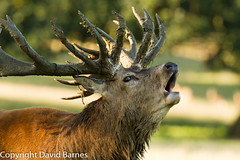 Red Deer (David Barnes Wildlife Photography) Tags: 1d4 british cervuselaphus fauna mammals nature naturephotography reddeer uk unitedkingdom wildlife
