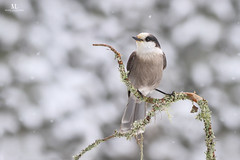 Msangeai du Canada - Gray jay - Perisoreus canadensis (Maxime Legare-Vezina) Tags: bird oiseau nature wild wildlife animal fauna ornithology biodiversity canon winter hiver snow neige quebec canada