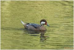 Pijlstaarteend (HP011140) (Hetwie) Tags: duck wandelen weekendjeweg kamperen nature natuur eend limburg ransdaal schinveld nederland pijlstaarteend