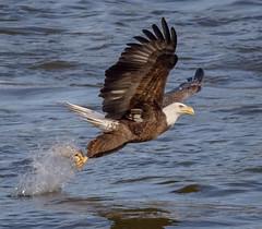 Success!!! (tresed47) Tags: 2016 201611nov 20161114conowingoeagles birds canon7d conowingo content eagle flightshot folder general maryland peterscamera petersphotos places takenby us ngc npc
