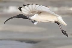 Ibis in flight (Howard Ferrier) Tags: oceania rock vertebrate australia flying chordate seq sunshinecoast bird materials airborne tidalpool kingsbeach caloundra ibis queensland fly tidepool
