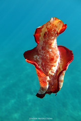 IMG_0210 copy (Aaron Lynton) Tags: spanish dancer snorkel scooter maui hawii hawaii canon g1x spanishdancer turtle honu tako octopus ocean animals papio yellowspotpapio starfish