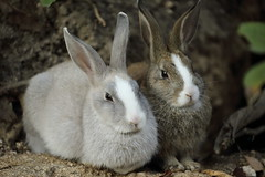 Rabbits (Teruhide Tomori) Tags: rabbit animal wild okunoisland japan