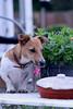 Nosy Connie (KelJB) Tags: brownandwhitedog gardentable cute hunour nosydog dogontable smalldog terrier jackrussell funny canine animal pet dog